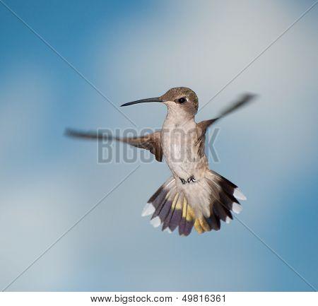 Female Hummingbird in flight, looking curiously below her