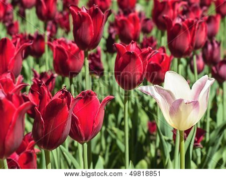 White Tulip Against Red Tulips