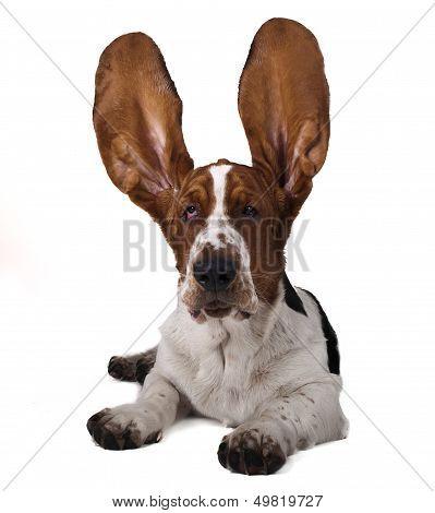 Basset raised ears