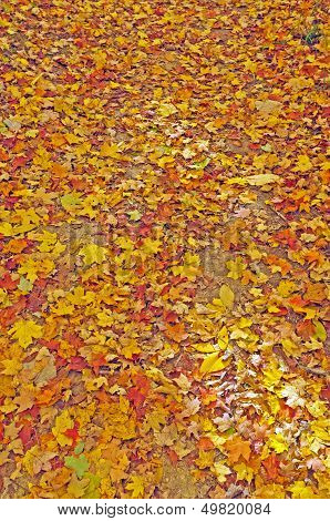 Colorful Fall Leaves On A Forest Floor