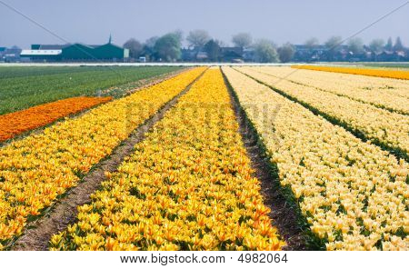 Colorful Fields With Small Tulips
