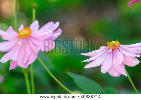 Beautiful Soft Pink Aster With Yellow Centre Sway In The Breeze