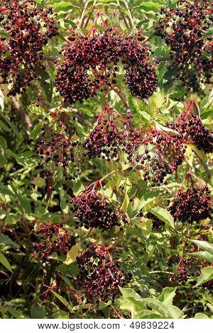 Elderberries