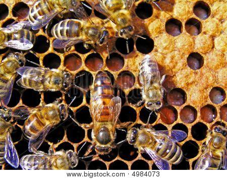 Bienenkönigin hinter Arbeit.
