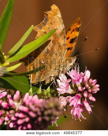 Comma Butterfly On Hebe Flower