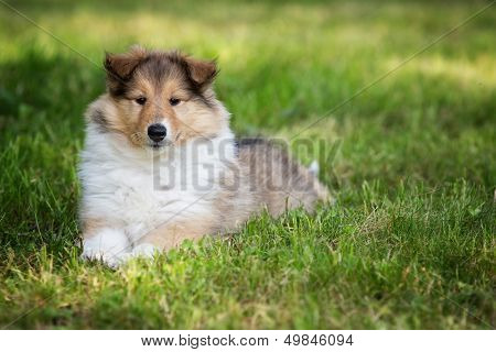 puppy of colie on meadow