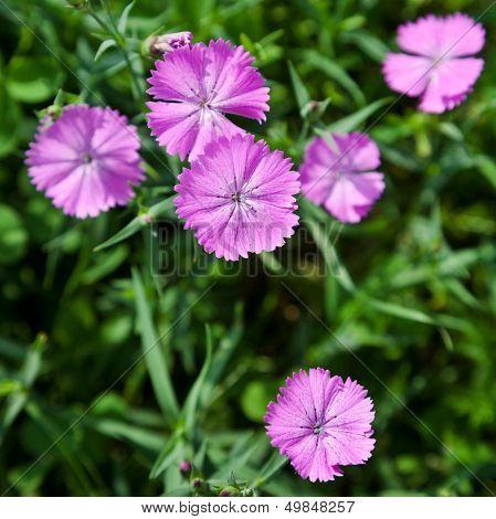 dianthus Campestris Flower