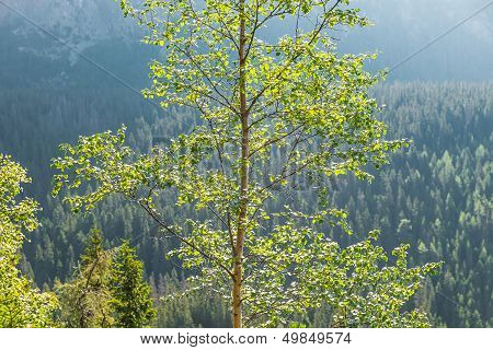 Birch Tree In The Sun Light Against The Forest-covered Mountains.