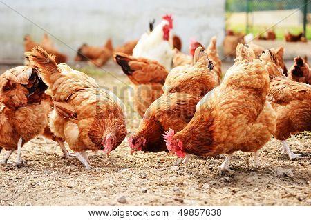 Pollos de granja de aves de corral tradicional