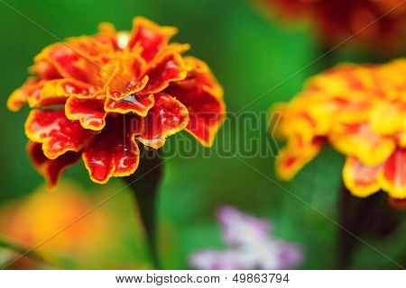 Beautiful Orange Tagetes Flower (marigold) With Rain Drops On Petals