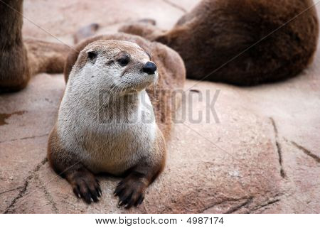 Otter On The Watch