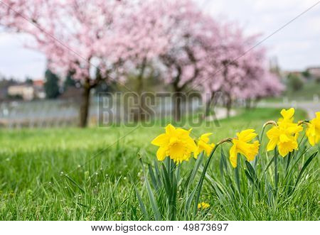 Daffodils with blooming almond trees in the background