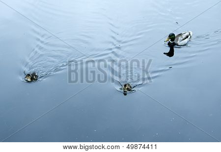 Male Mallard With Ducklings