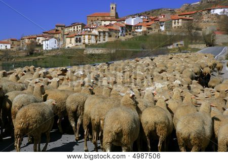 Lamb Herd, Sheep, Gout Flock Spanish Village