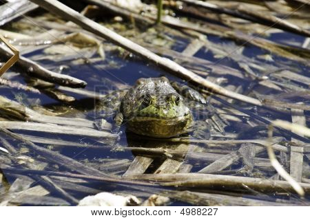 Large Bullfrog