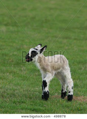 Crying Lamb