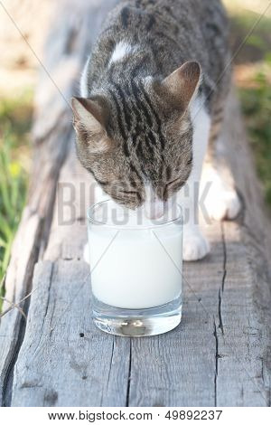 Striped Cat To Lap Milk With Tumbler