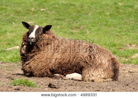 Zwartbles Ewe Resting