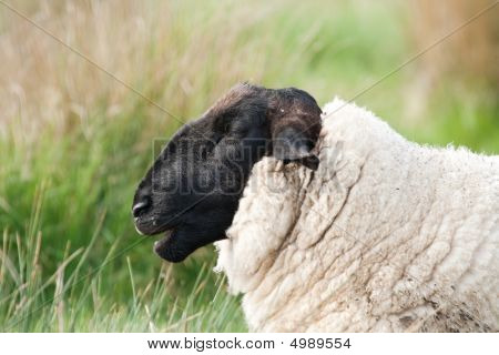 Head Of Suffolk Sheep