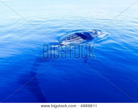 Submerged Humpback Whale In The Deep Blue Ocean