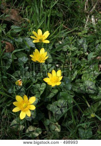 Lesser Celandine Wild Flowers