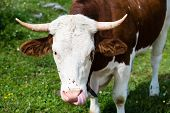 foto of cow head  - Head of a brown bull cow grazing in the Bavarian Alps - JPG
