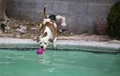 stock photo of pitbull  - A brown and white pitbull reaching for his toy by at the side of the swimming pool - JPG