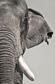 stock photo of indian elephant  - Close up view of asian elephant headselective focus - JPG