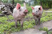 foto of pig  - young pig walking on a farm a summer day - JPG