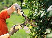 image of clippers  - A gardener cutting a hedge in the garden hands close up - JPG