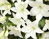 foto of lily  - White bouquet of lilies - JPG