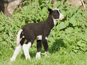 picture of shaky  - Zwartbles lamb only just up on his legs and very shaky - JPG