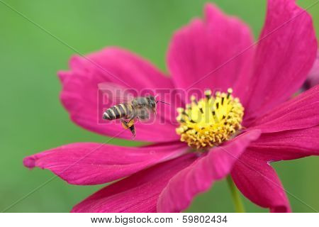 Bee in flower bee amazing,honeybee pollinated of pink flower