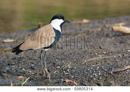 Spur-winged Plover (vanellus Spinosus) In Profile
