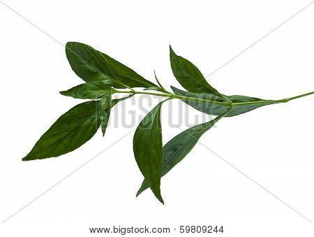 Andrographis Paniculata Wall Ex Ness