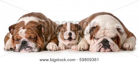three bulldogs - father is two, son is 10 weeks and grandfather is 4 isolated on white background