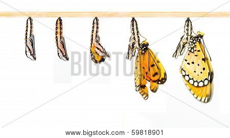 Mature Cocoon Transform To Tawny Coster Butterfly