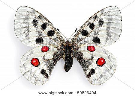 The Apollo (Parnassius apollo), a Protected European Butterfly