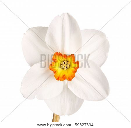 Single Flower Of A Tricolor Daffodil Cultivar Against A White Background