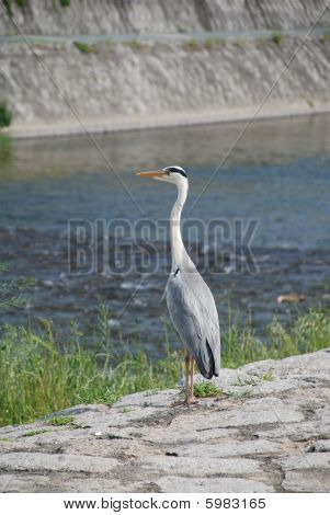 Heron by Kamo-Gawa River