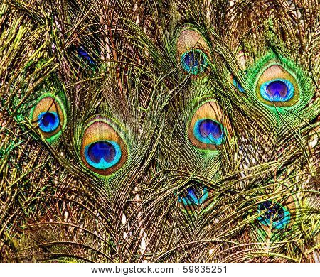 Background With  Colorful Peacock Feathers