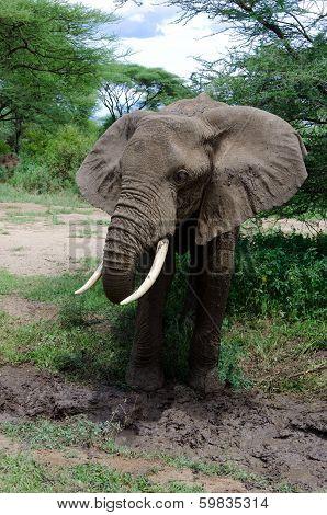Elephant Mud-bath