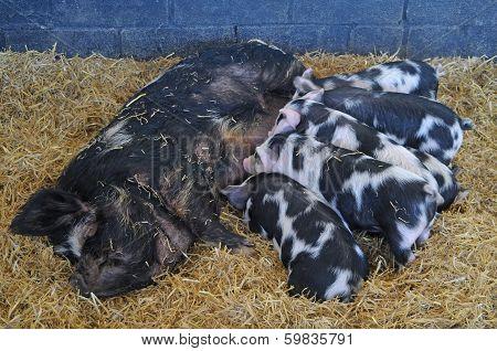 Kunekune Pig With Litter Of Piglets