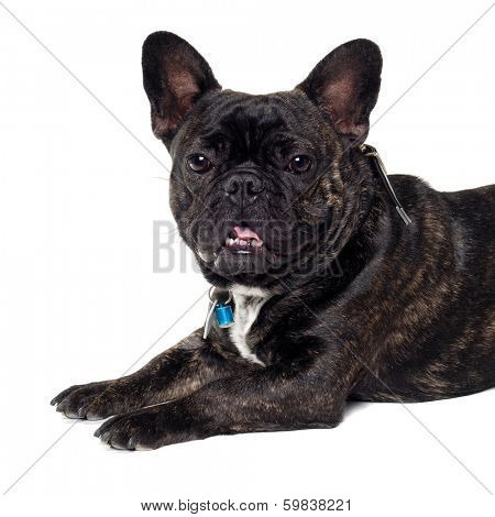 Sweet dog is resting on a clean white background. The name of the breed is a French Bulldog. Some people also call it a bouledogue