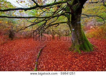 Autumn Selva de Irati fall beech jungle in Navarra Pyrenees of Spain