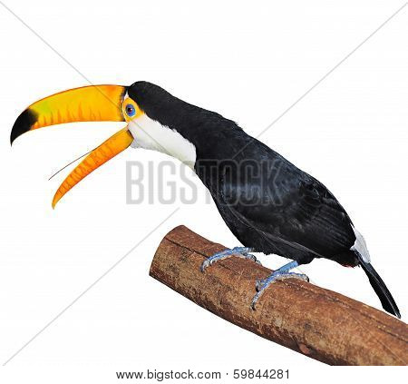 Toucan on the tree branch.