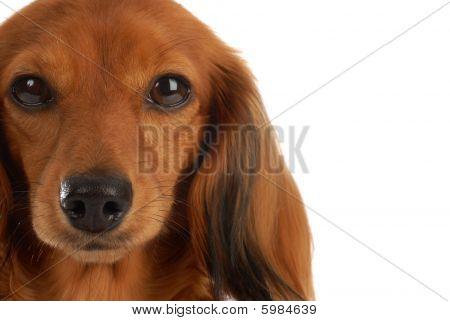 Retrato de cabeza de perro salchicha