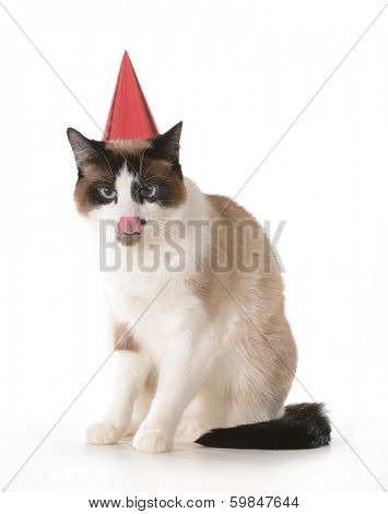 cat birthday - ragdoll cat wearing red birthday hat licking lips isolated on white background