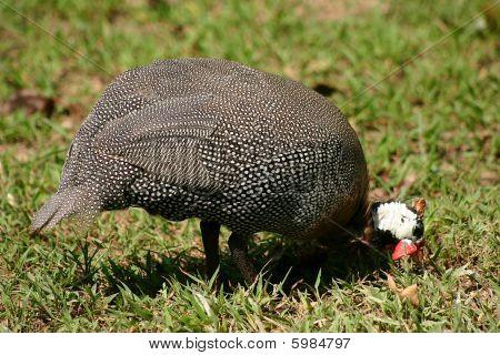 Guinea Hen