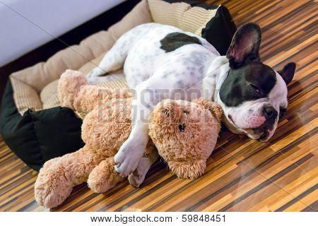 French bulldog puppy sleeping with teddy bear